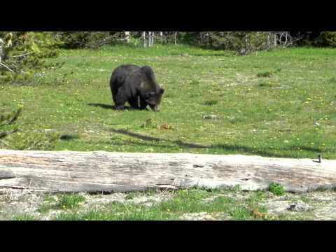 GRIZZLY YELLOWSTONE PARK