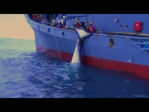 Publican en Australia impactante video de balleneros japoneses