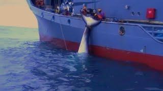Video: IMPACTANTE: Japoneses cazan ballenas impunemente en el Océano Antártico