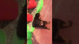Ultimate quality Rottweiler puppies at cheapest price with paper and home delivery.. 8527699797