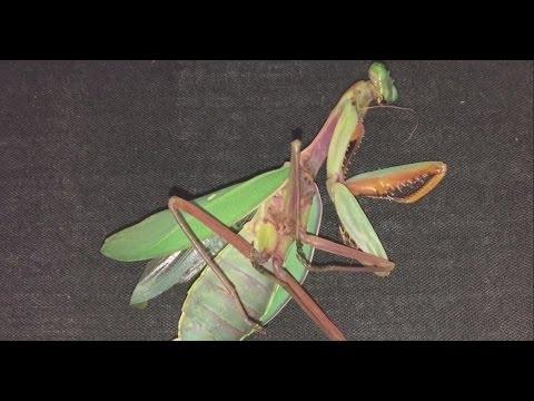 Giant rainforest mantis