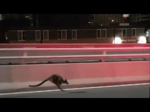 Wallaby apprehended after hopping across Sydney Harbour Bridge