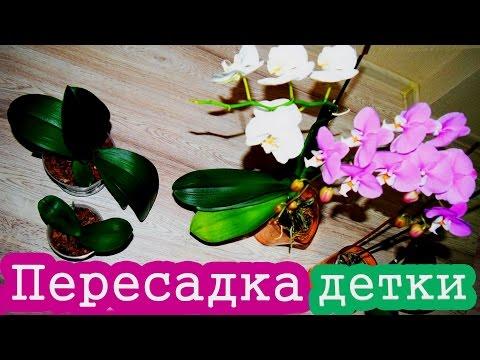 Как отделить детку орхидеи фаленопсис. Пересаживаем детку.