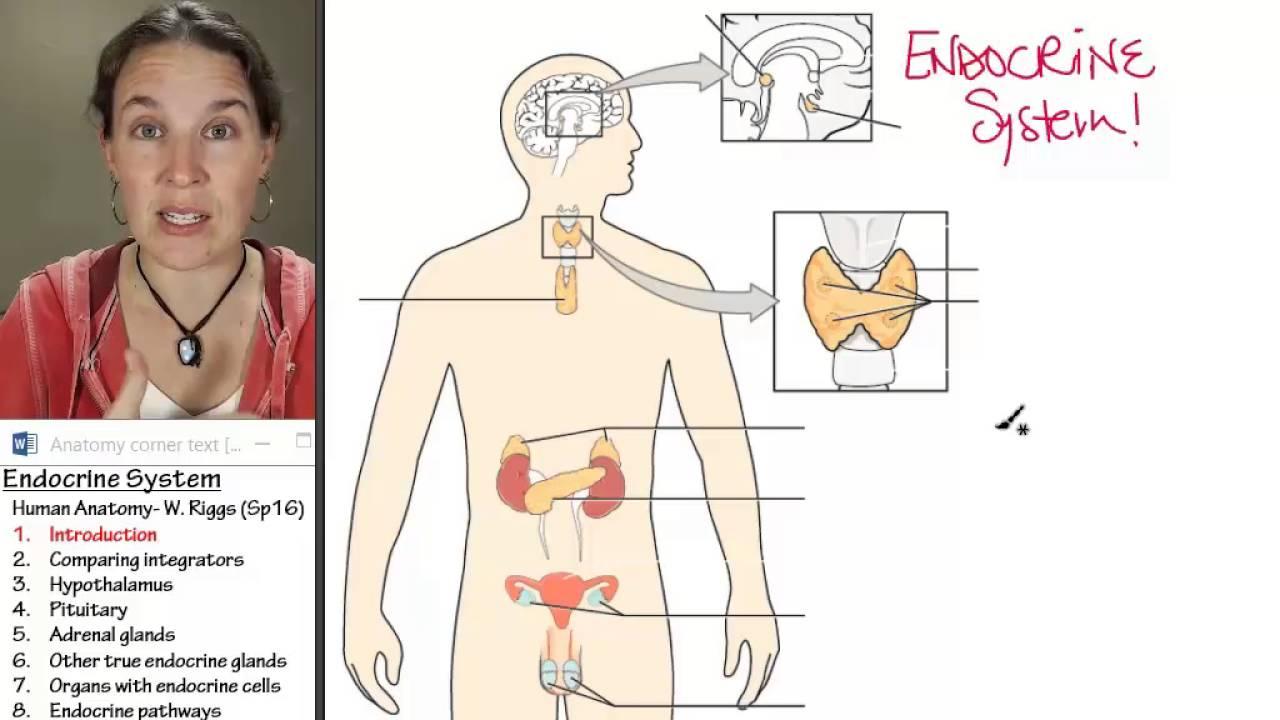 Endocrine 1- Introduction - YouTube