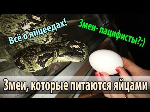 Ещё один процесс домашней кладки яиц среднеазиатской черепахи .
