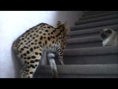 Nala talking serval cat