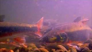 多摩川マルタウグイの遡上水中映像