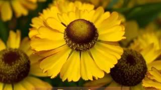 Гелениум: сорта, посадка и уход в открытом грунте