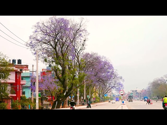 फुलै फुलको माैषम तिमीलाई - काठमान्डौमा ज्याकाराण्डाको मौषम  #ournewscrew #Jacaranda #Kathmandu