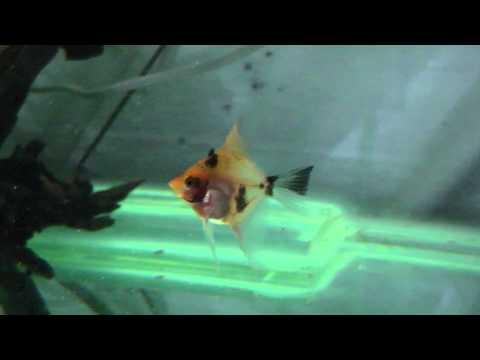 Red Devil Angelfish (German Strain)