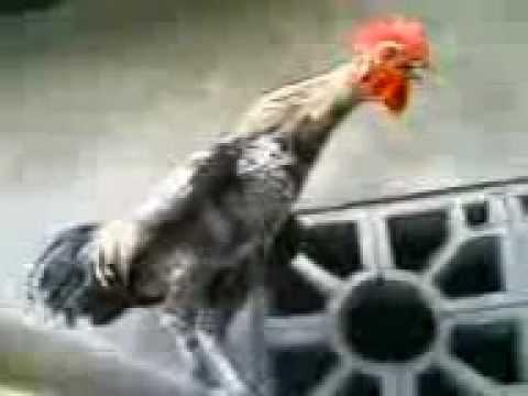 ayam ketawa (dangdut durasi)