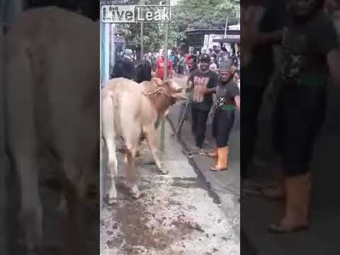 Bodhi - Cow Kicks A Man Straight Upside His Head (Video)
