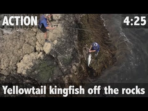 YELLOWTAIL KINGFISH OFF THE ROCKS