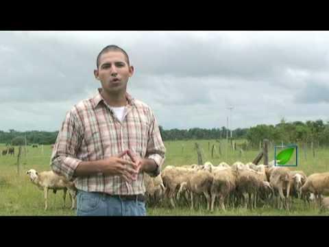 Cría de ovejos para carne de YouTube · Duración:  3 minutos 20 segundos  · Más de 140.000 vistas · cargado el 28.08.2010 · cargado por InnovagroTv