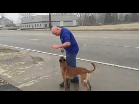 Malinois 'Bailey' Training Naked Off Leash Potty Command Dog For Sale