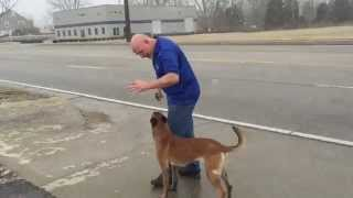 "Malinois ""bailey"" Training Naked Off Leash Potty Command Dog For Sale"