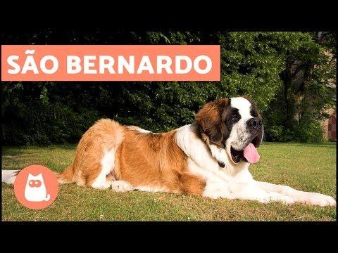 São Bernardo - Cachorro GIGANTE
