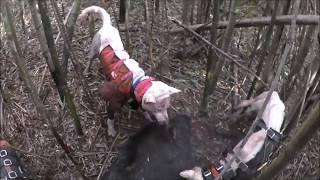 大格闘!猟犬vs巨大イノシシ!猟師と猟犬のチームワークで獲る!70kgオス<閲覧注意!狩猟・駆除> thumbnail