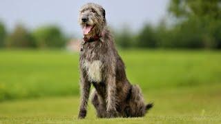Lobero irlandés o Irish Wolfhound - Hogarmanía