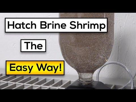 Hatching Live Brine Shrimp : Easy Steps [Fast Results!]