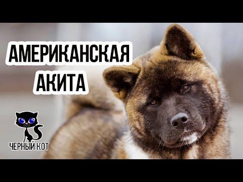 Американская акита /Интересные факты о собаках / Порода американская акита