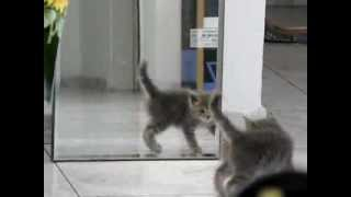 Kitten frolics front of the mirror