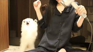 【ナイトルーティン】在宅ワーク後のわんちゃんタイム【ポメラニアンの子犬】