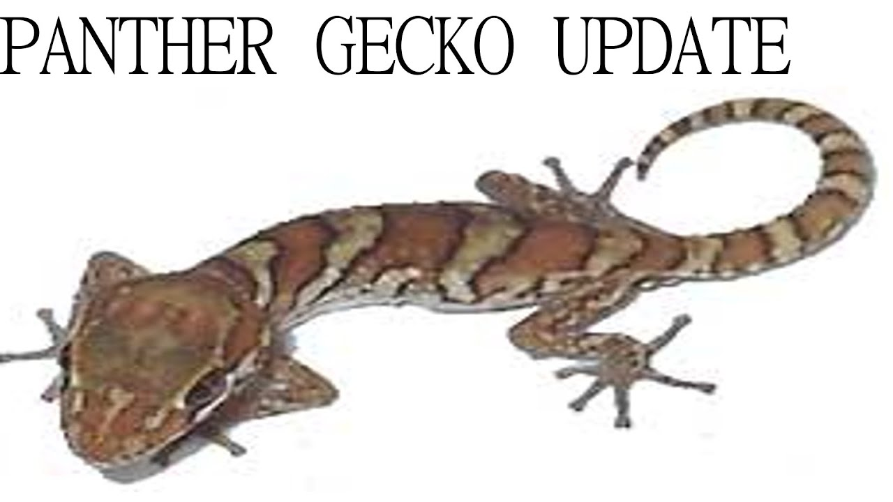 Panther Gecko Update Gecko Guy Youtube