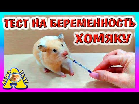 ТЕСТ НА БЕРЕМЕННОСТЬ ХОМЯКУ / КАК ПОДГОТОВИТЬ ХОМКИ К РОДАМ / ХОМЯЧИХА БЕРЕМЕННА / Alisa Easy Pets