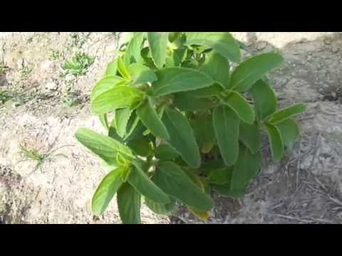 Medicinal Herb - Coleus forskohlii Cultivation Central India [Plants & Roots Available]