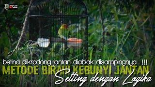 Download lagu metode setting birahi lovebird jantan agar kebunyi