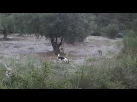 επιλεκτικη εκτροφη beagle tsirkoydis 5-8 2014