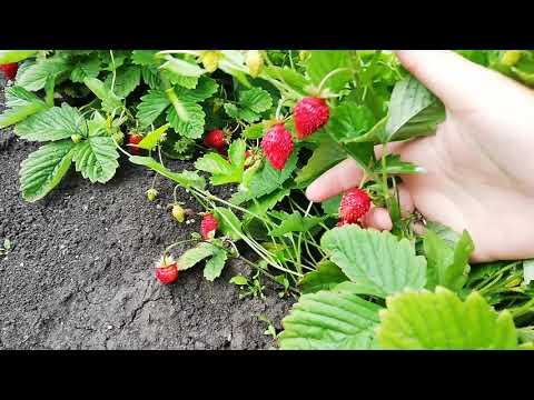 Земляника Барон Солемахер в конце июля, ягоды как они есть.
