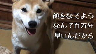 顔をなでようとすると巧みにお尻へ誘導する柴犬 My dog wants me to rub her rump thumbnail
