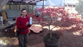 The Art of Proper Japanese Maple Pruning