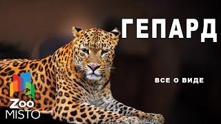 Гепард - Все о виде млекопитающего  | Семейство кошачьих  гепард
