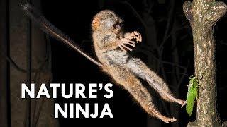 Tarsiers: Creepy Little Ninjas