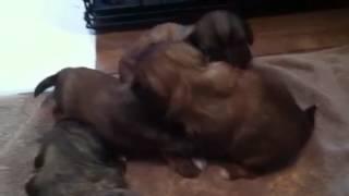 3 1/2 Weeks Shih Tzu Pups