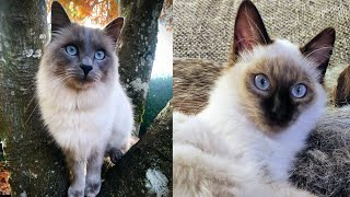 BALINESE CATS 2021