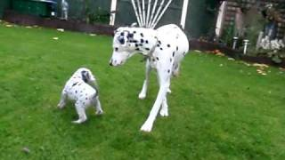 Adorable Dalmatian Puppies For Sale - Play Fighting In Garden - 4 Weeks Old!!