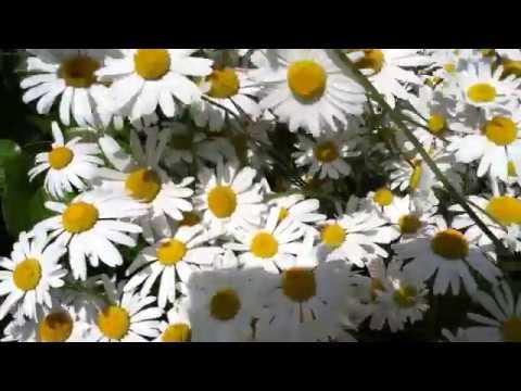 Marguerite commune 'Leucanthemum vulgare' Fkeurs et p&tales indénombrable
