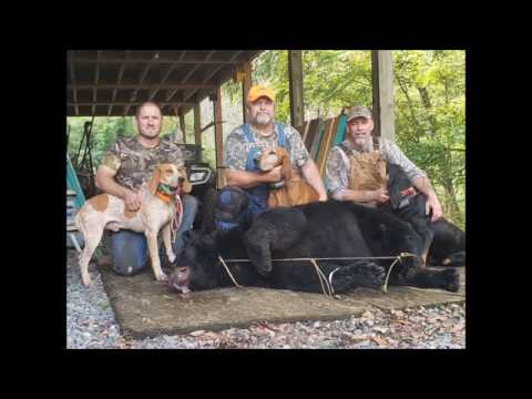 457 Lb.. Trophy Bear With Hounds
