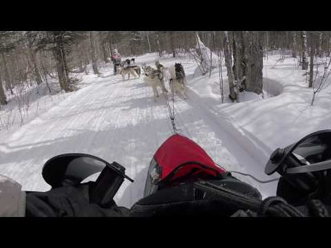 Watch Siberian Huskies in Sled Dog Racing!!