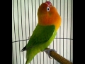 Love Bird Paud Cerewet Ngekek