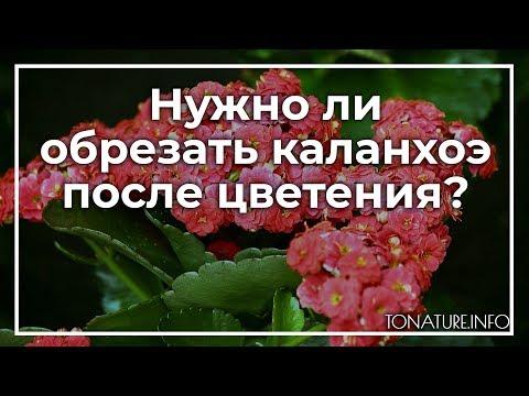Нужно ли обрезать каланхоэ после цветения? | toNature.Info