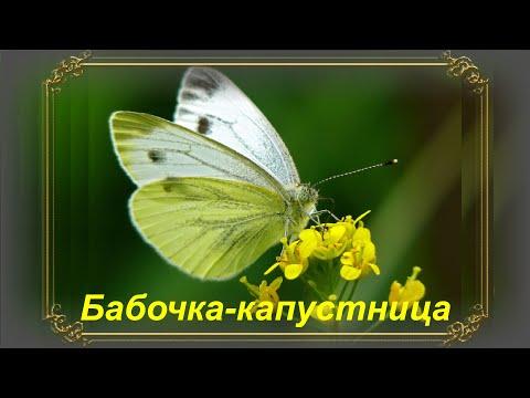 Бабочки-капустницы
