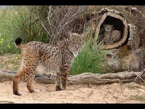 Lince Ibérico: Programa de Cría en Cautividad / Iberian Lynx: Captivity Breeding Program [IGEO.TV]