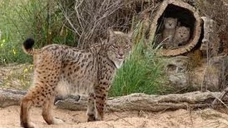 Lince Ibérico: Programa de Cría en Cautividad / Iberian Lynx: Captivity Breeding Program [IGEO.TV]