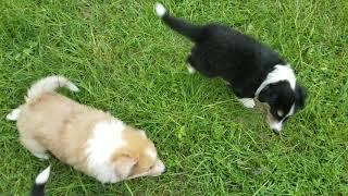 Skye's collie pups