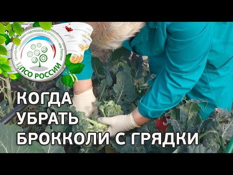 компания Glissade агротехника выращивания капусты брокколи оптимальному сочетанию натуральных